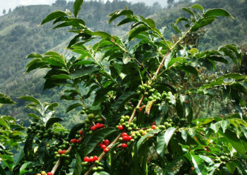 Difference between the Arabica Plant and Robusta Coffee Plant